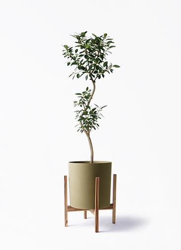 観葉植物 フランスゴムの木 8号 曲り ホルスト シリンダー オリーブ ウッドポットスタンド付き