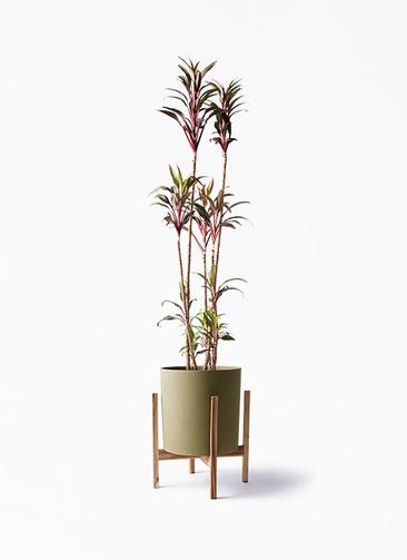 観葉植物 コルディリネ (コルジリネ) ターミナリス 8号 ホルスト シリンダー オリーブ ウッドポットスタンド付き
