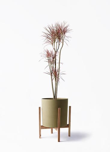観葉植物 ドラセナ コンシンネ レインボー 8号 ストレート ホルスト シリンダー オリーブ ウッドポットスタンド付き