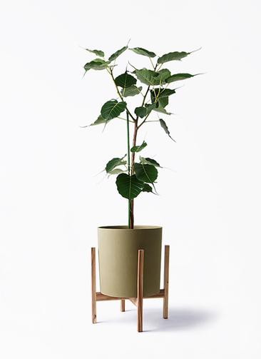 観葉植物 インドボダイジュ 8号 ホルスト シリンダー オリーブ ウッドポットスタンド付き