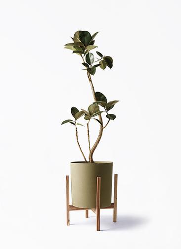 観葉植物 フィカス バーガンディ 8号 曲り ホルスト シリンダー オリーブ ウッドポットスタンド付き