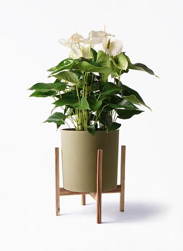 観葉植物 アンスリウム 8号 スミ ホルスト シリンダー オリーブ ウッドポットスタンド付き