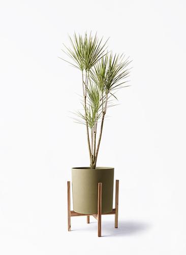 観葉植物 コンシンネ ホワイポリー 8号 ストレート ホルスト シリンダー オリーブ ウッドポットスタンド付き