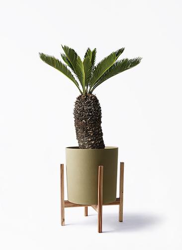 観葉植物 ソテツ 8号 ホルスト シリンダー オリーブ ウッドポットスタンド付き