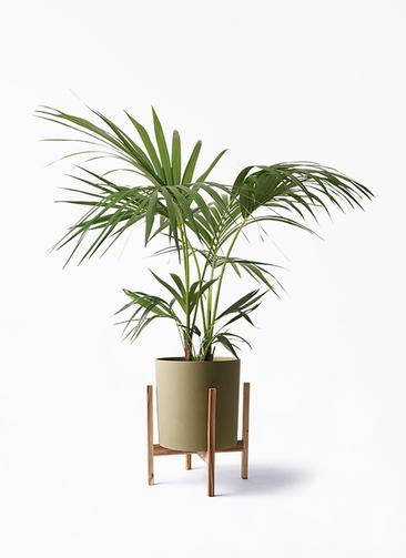 観葉植物 ケンチャヤシ 8号 ホルスト シリンダー オリーブ ウッドポットスタンド付き