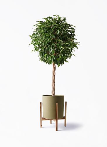 観葉植物 フィカス ベンジャミン 8号 玉造り ホルスト シリンダー オリーブ ウッドポットスタンド付き