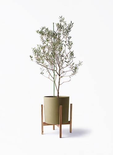 観葉植物 オリーブの木 8号 カリフォルニアクイーン ホルスト シリンダー オリーブ ウッドポットスタンド付き