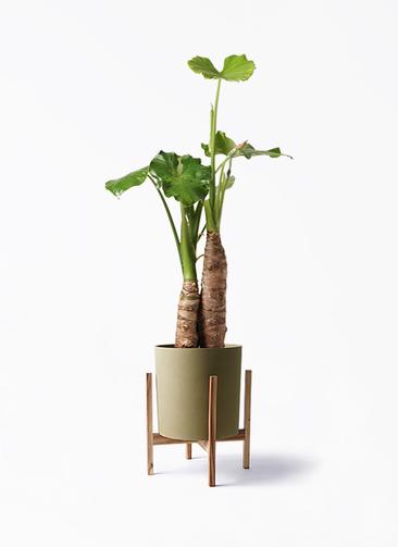 観葉植物 クワズイモ 8号 ホルスト シリンダー オリーブ ウッドポットスタンド付き