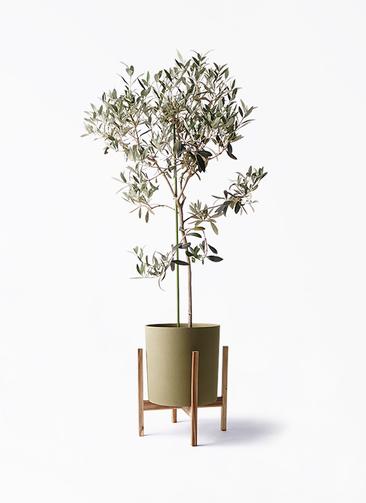 観葉植物 オリーブの木 8号 ワンセブンセブン ホルスト シリンダー オリーブ ウッドポットスタンド付き