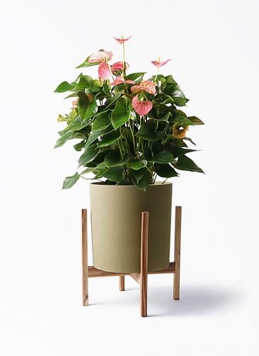 観葉植物 アンスリウム 8号 ピンクチャンピオン ホルスト シリンダー オリーブ ウッドポットスタンド付き