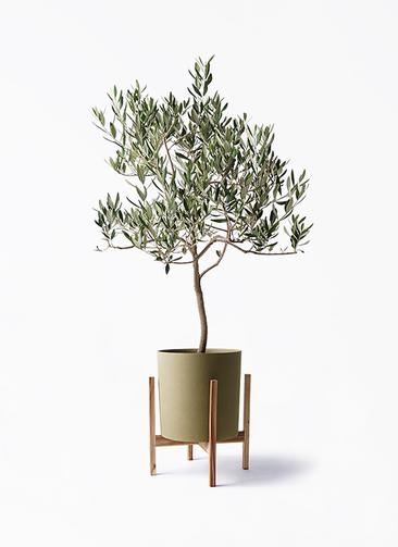 観葉植物 オリーブの木 8号 ハーディーズマンモス ホルスト シリンダー オリーブ ウッドポットスタンド付き