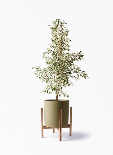 観葉植物 フィカス ベンジャミン 8号 スターライト ホルスト シリンダー オリーブ ウッドポットスタンド付き