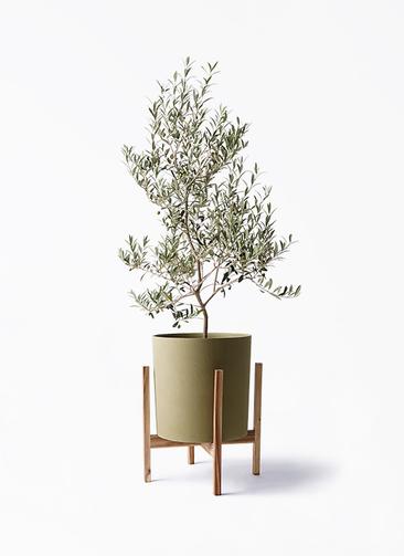観葉植物 オリーブの木 8号 アルベキーナ ホルスト シリンダー オリーブ ウッドポットスタンド付き