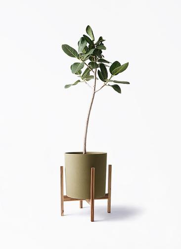 観葉植物 フィカス ベンガレンシス 8号 ストレート ホルスト シリンダー オリーブ ウッドポットスタンド付き