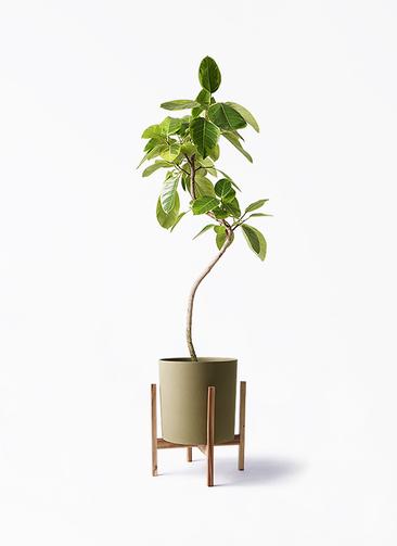 観葉植物 フィカス アルテシーマ 8号 曲り ホルスト シリンダー オリーブ ウッドポットスタンド付き