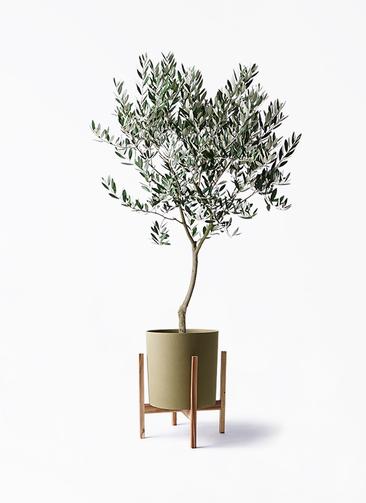 観葉植物 オリーブの木 8号 創樹 ホルスト シリンダー オリーブ ウッドポットスタンド付き