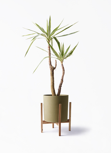観葉植物 ユッカ 8号 斑入り ホルスト シリンダー オリーブ ウッドポットスタンド付き