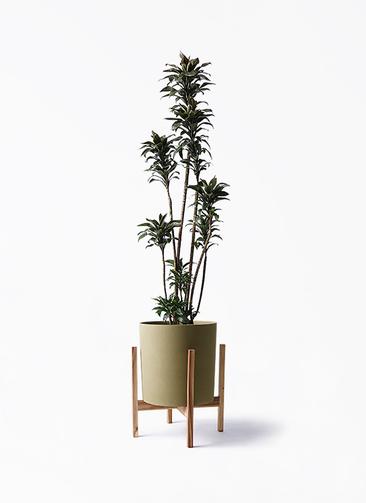 観葉植物 ドラセナ パープルコンパクタ 8号 ホルスト シリンダー オリーブ ウッドポットスタンド付き