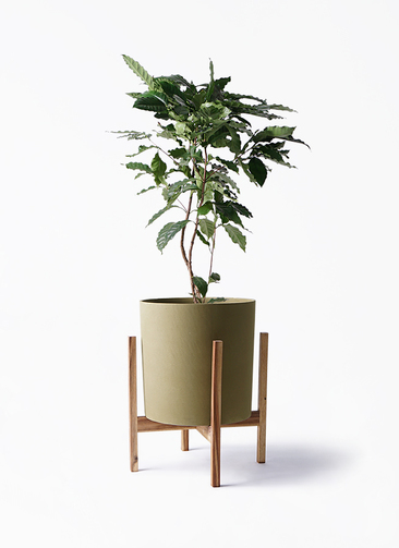 観葉植物 コーヒーの木 8号 ホルスト シリンダー オリーブ ウッドポットスタンド付き
