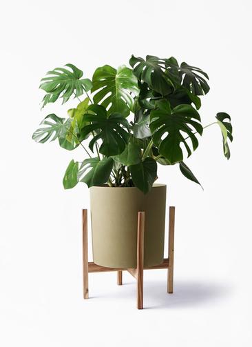 観葉植物 モンステラ 8号 ボサ造り ホルスト シリンダー オリーブ ウッドポットスタンド付き