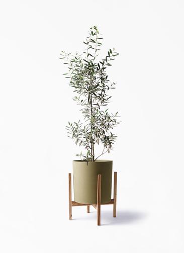 観葉植物 オリーブの木 8号 チプレッシーノ ホルスト シリンダー オリーブ ウッドポットスタンド付き