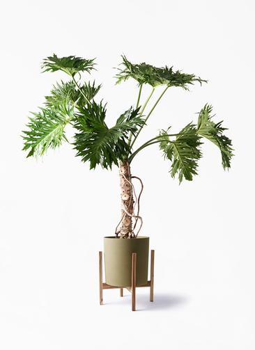 観葉植物 セローム ヒトデカズラ 8号 根あがり ホルスト シリンダー オリーブ ウッドポットスタンド付き
