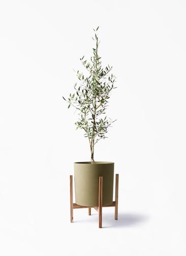 観葉植物 オリーブの木 8号 コロネイキ ホルスト シリンダー オリーブ ウッドポットスタンド付き