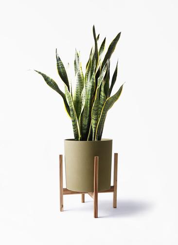 観葉植物 サンスベリア 8号 トラノオ ホルスト シリンダー オリーブ ウッドポットスタンド付き