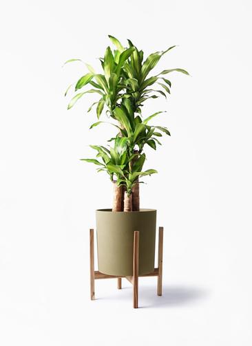 観葉植物 ドラセナ 幸福の木 8号 ノーマル ホルスト シリンダー オリーブ ウッドポットスタンド付き