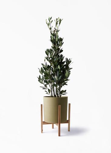 観葉植物 月桂樹 8号 ホルスト シリンダー オリーブ ウッドポットスタンド付き