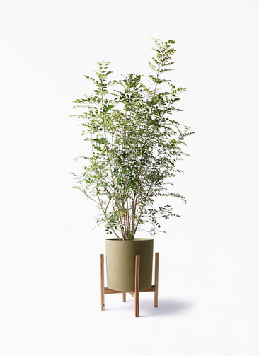 観葉植物 シマトネリコ 8号 ホルスト シリンダー オリーブ ウッドポットスタンド付き
