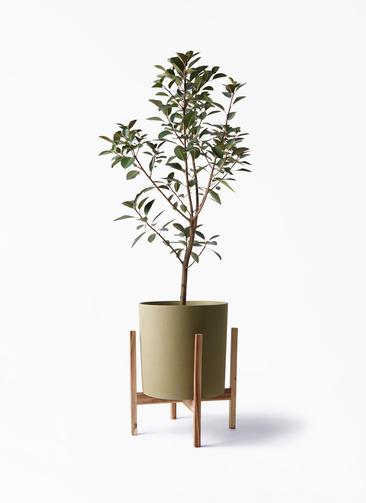 観葉植物 フランスゴムの木 8号 ノーマル ホルスト シリンダー オリーブ ウッドポットスタンド付き