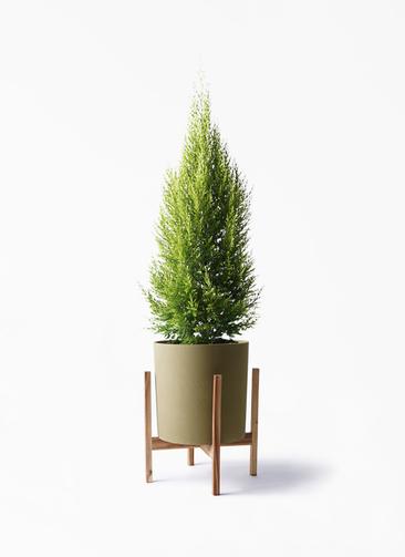 観葉植物 ゴールドクレスト 8号 ノーマル ホルスト シリンダー オリーブ ウッドポットスタンド付き