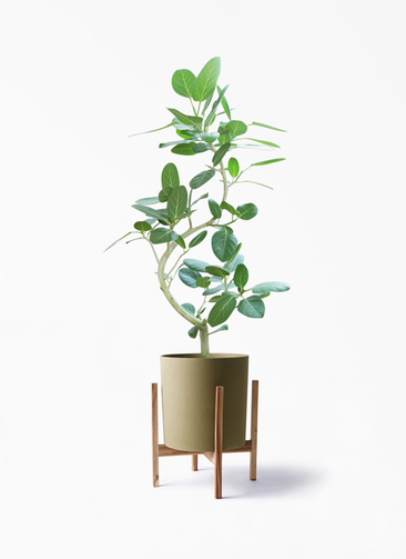 観葉植物 フィカス ベンガレンシス 8号 曲り ホルスト シリンダー オリーブ ウッドポットスタンド付き