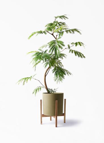 観葉植物 エバーフレッシュ 8号 曲り ホルスト シリンダー オリーブ ウッドポットスタンド付き