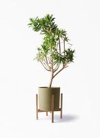 観葉植物 ドラセナ ソング オブ ジャマイカ 8号 ホルスト シリンダー オリーブ ウッドポットスタンド付き