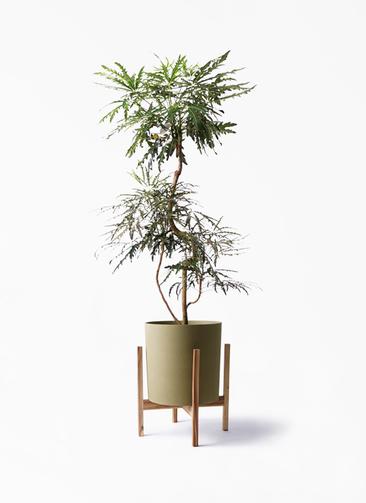 観葉植物 グリーンアラレア 8号 曲り ホルスト シリンダー オリーブ ウッドポットスタンド付き