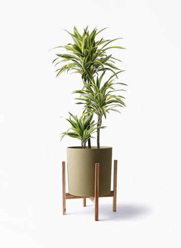 観葉植物 ドラセナ ワーネッキー レモンライム 8号 ホルスト シリンダー オリーブ ウッドポットスタンド付き