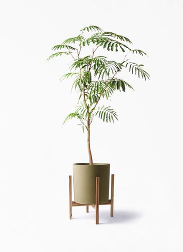 観葉植物 エバーフレッシュ 8号 ボサ造り ホルスト シリンダー オリーブ ウッドポットスタンド付き