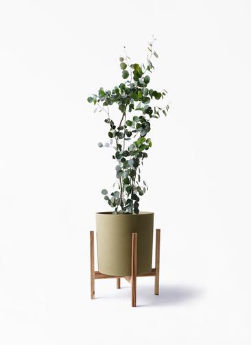 観葉植物 ユーカリ 8号 ポリアンセモス ホルスト シリンダー オリーブ ウッドポットスタンド付き
