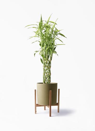 観葉植物 ドラセナ ミリオンバンブー(幸運の竹) 8号 ホルスト シリンダー オリーブ ウッドポットスタンド付き