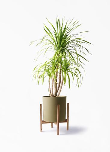 観葉植物 ドラセナ カンボジアーナ 8号 ホルスト シリンダー オリーブ ウッドポットスタンド付き