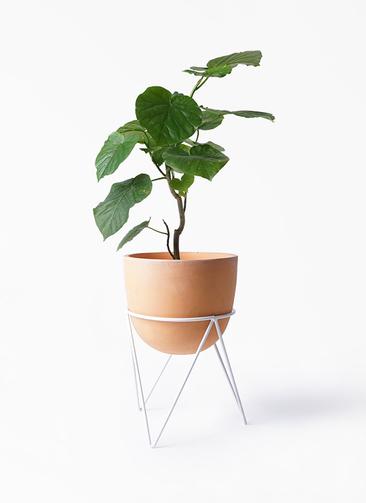 観葉植物 フィカス ウンベラータ 6号 ノーマル インティ ラウンド アイアンポットスタンド ホワイト付き