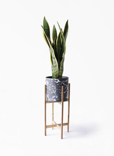 観葉植物 サンスベリア 6号 トラノオ ホルスト シリンダー マーブル ウッドポットスタンド付き
