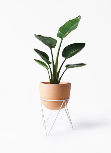 観葉植物 オーガスタ 6号 インティ ラウンド アイアンポットスタンド ホワイト付き