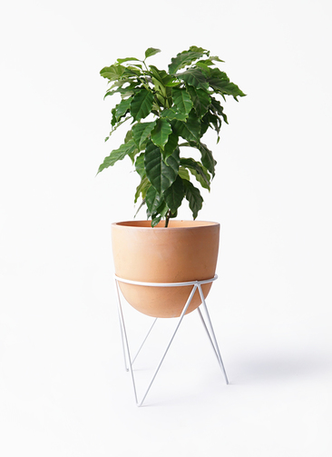 観葉植物 コーヒーの木 6号 インティ ラウンド アイアンポットスタンド ホワイト付き