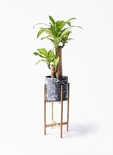 観葉植物 ドラセナ 幸福の木 6号 ノーマル ホルスト シリンダー マーブル ウッドポットスタンド付き