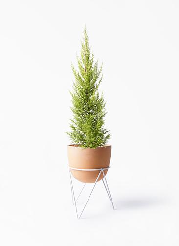 観葉植物 ゴールドクレスト 6号 ノーマル インティ ラウンド アイアンポットスタンド ホワイト付き
