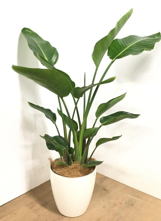 観葉植物 【130cm】 オーガスタ 8号 #22948