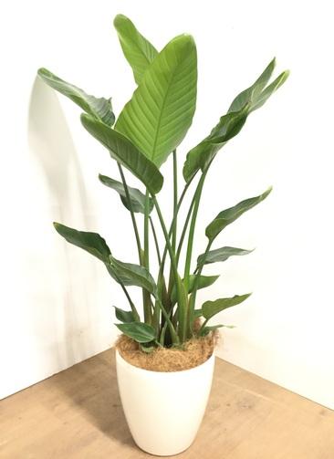 観葉植物 【120cm】 オーガスタ 8号 #22949